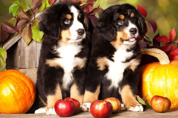 puppys sitting between two pumpkins and other fall decorations